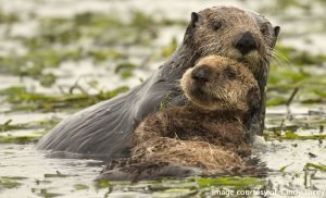 Sea Otter Week